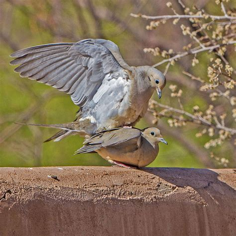 dove mourning mating p flickr photo sharing