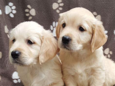 3 types of golden retrievers show type kc reg golden retriever puppies canterbury kent pets4homes