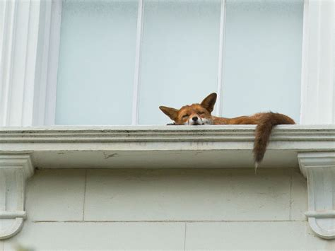 sohlbank fenster fox spotted napping on second story window ledge in