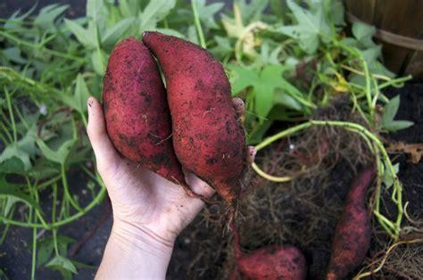 Bibit Ubi Jalar Ungu cara sukses menanam ubi jalar dalam karung atau pot dengan