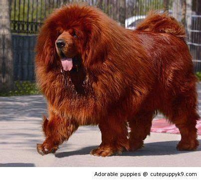 most expensive puppies best 25 tibetan breeds ideas on tibetan mastiff largest mastiff