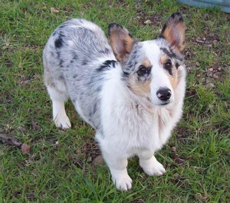 corgi aussie mix puppies aussie corgi australian shepherd corgi a designer dogs