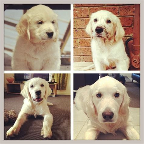 golden retriever stop growing golden retriever growing pictures dogs in our photo