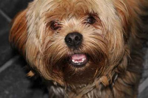 yorkie apso temperament yorkie apso information and pictures yorkie apso breeds picture