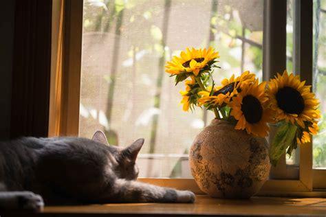 gray cat  gray vase  sunflower  stock photo