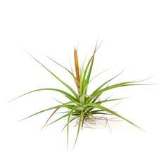 tillandsia ionantha ball when you let your ionantha air plant reproduce it will create a