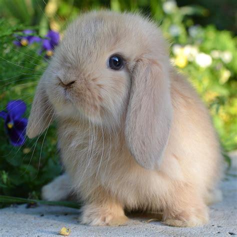 alimentazione conigli coniglio ariete nano crema la stalla dei conigli