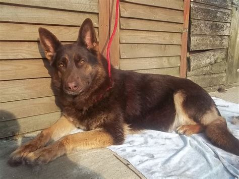 liver german shepherd puppies for sale one shortcoat liver gold pup abingdon oxfordshire pets4homes