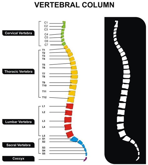 sections of the vertebral column 17 best images about the body in motion on pinterest