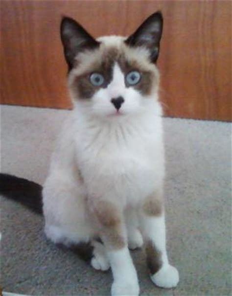 types of cat coloring what type and color of siamese cat do i