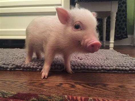 new year facts about the pig 10 facts about micro pigs