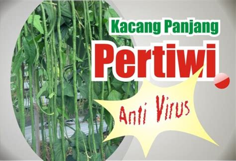 Benih Kacang Panjang Pangeran Anvi kacang panjang pertiwi benih pertiwi