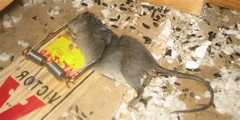 best poison for mice in attic how to get rid of mice in attic without killing them