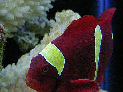 Shafa Khimar No Pet Maroon clownfish and host anemone matches