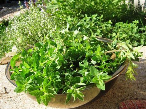 coltivare piante aromatiche in vaso piante aromatiche piante da appartamento coltivare