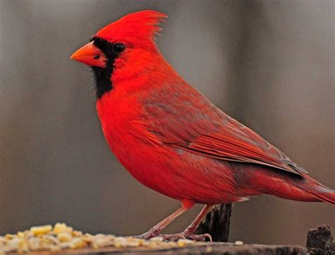 cool 10 show me a picture of a cardinal my wedding site