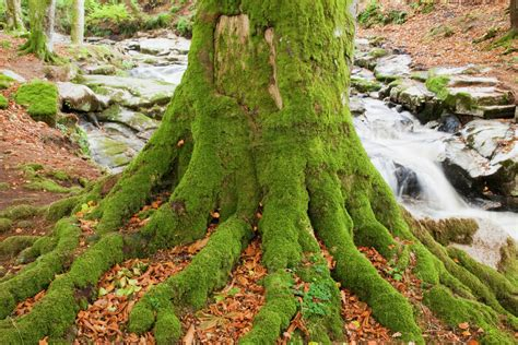 what is a tree trunk covered with 4 letters tree trunk and roots covered in moss with a flowing creek