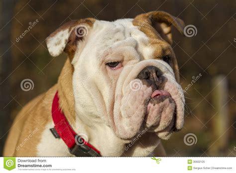 testa in inglese testa inglese bulldog immagine stock immagine di nave