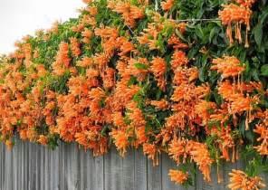 Bougainvillea Trellis Ideas Las 25 Mejores Ideas Sobre Enredaderas Con Flores En