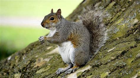 squirrel images free photo grey squirrel wood animal free image on