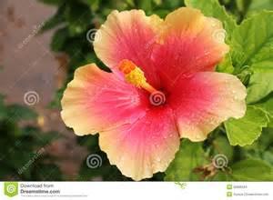 Hawaiian Flowers For Sale - image gallery sinensis flower