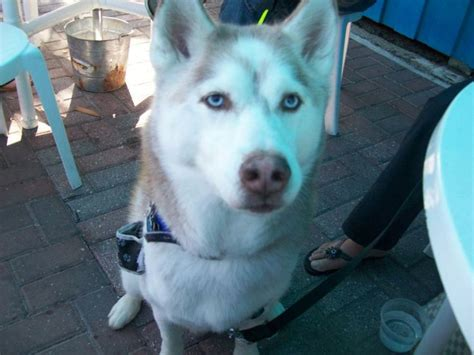 northern lights siberian husky rescue the 25 best ideas about siberian husky rescue on