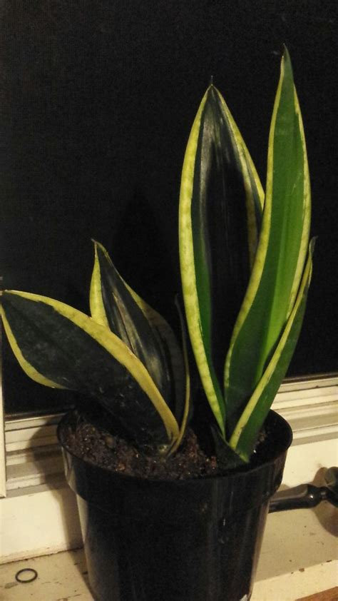 care for a sansevieria or snake plant serpientes y plantas