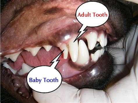 teething puppy remedies when they lose their baby teeth baby teething teeth search and babies