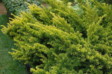 golden japanese yew taxus cuspidata aurescens
