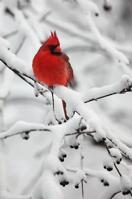 snowy perch northern cardinal cardinalis cardinalis