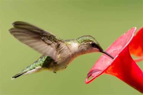 test your knowledge of hummingbirds 187 bird watcher s digest