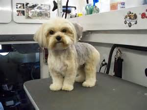 morkie haircuts pictures grooming styles for dogs photos