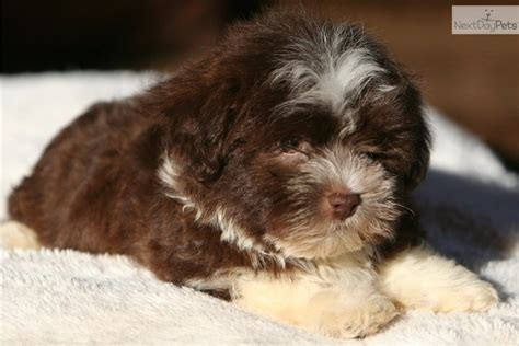 havanese dogs for sale mn havanese puppy akc in glencoe minnesota for sale breeds picture