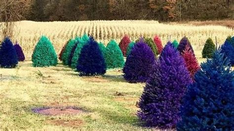 best real christmas trees in south jersey who says real trees must to be a traditional green stuff co nz