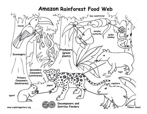 Rainforest Colouring Page Amazon Rainforest Food Web Exploring Nature Educational by Rainforest Colouring Page