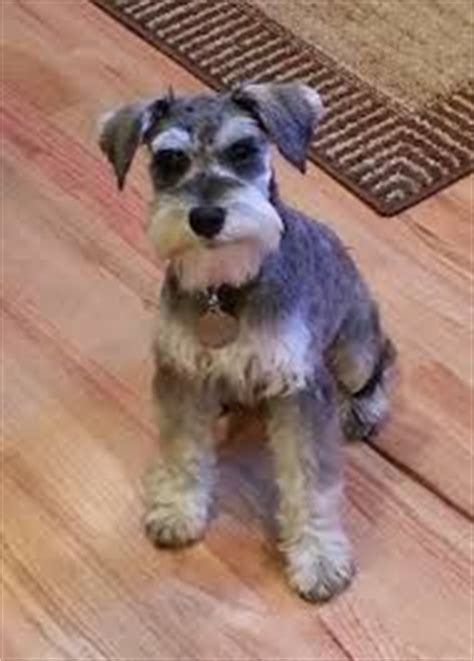 short minature schnauzer hair cut 1000 images about abby haircut on pinterest schnauzers