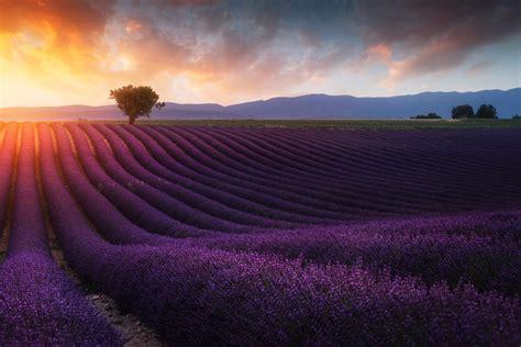 wallpaper lavender farm sunrise morning lavender fields