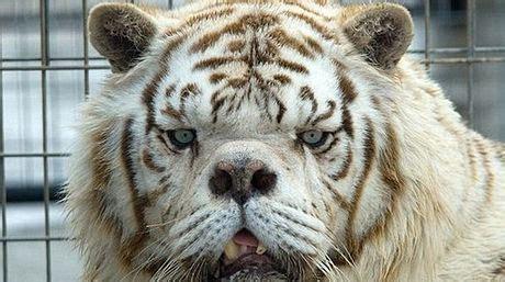 insolitokenny el tigre mas feo del mundo