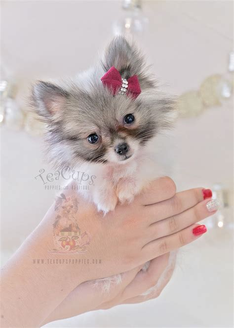 teacup teddy puppies teacup teddy pomeranian puppies www pixshark images galleries with a bite