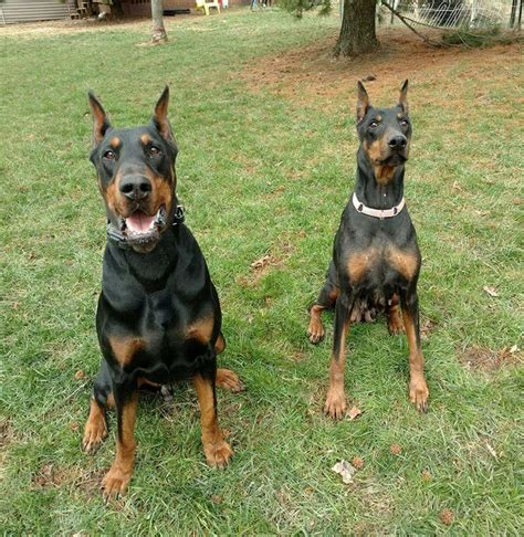 doberman puppies ohio doberman pinscher puppies for sale in ohio breeds picture