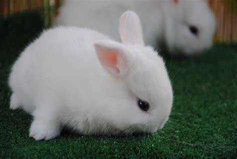 coniglio nano testa di cuccioli coniglio nano testa bianco occhi azzurri