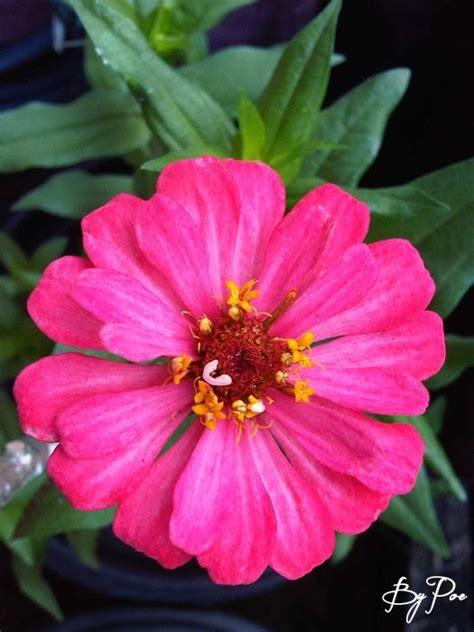 Tanaman Jadi Bunga Zinnia Pink pink zinnia kembang kertas flower