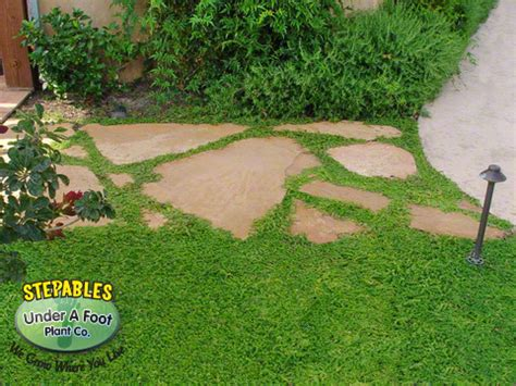 dog friendly backyard ground cover herniaria glabra green carpet rupture wort dog friendly