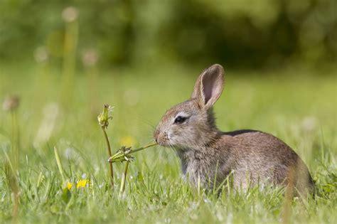 Gantungan Bunny Kopenhagen Bunny 1 safe wood and other plants for rabbits