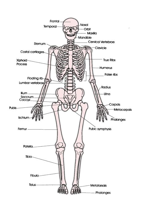 human bones diagram faith raspberry skeleton