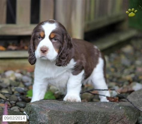 english setter dogs for sale in california 17 best images about english springer spaniel on pinterest