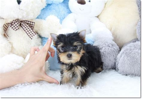 yorkie terrier price teacup terrier 2611468 best price pynprice