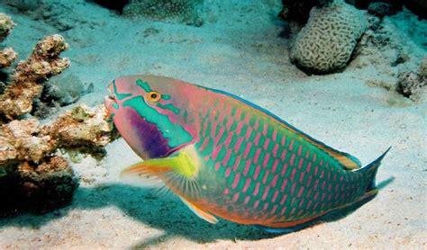 Makanan Ikan Hias Rainbow gambar foto jenis macam nama ikan hias air laut freewaremini