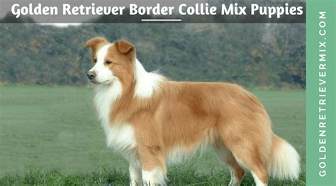 of the border golden retrievers golden retriever border collie mix puppies