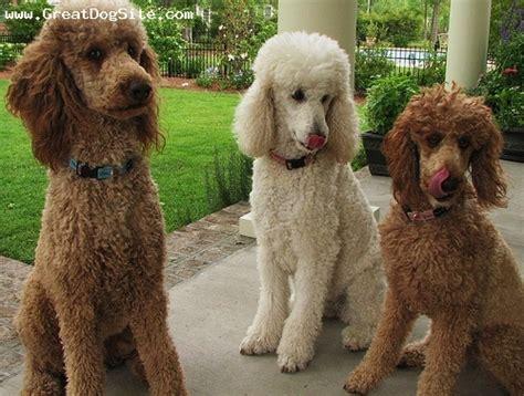 Boneka Anjing Hush Puppies Large sifat ras anjing 2 cupiddog